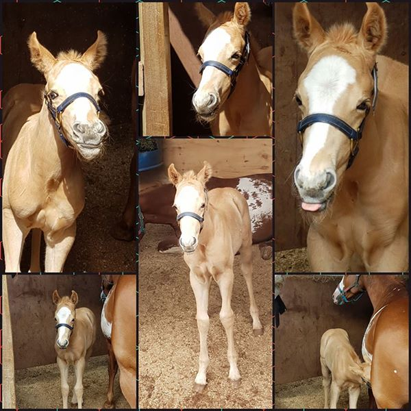 'Bob' Solid Palomino paint colt with 2 partial blue eyes