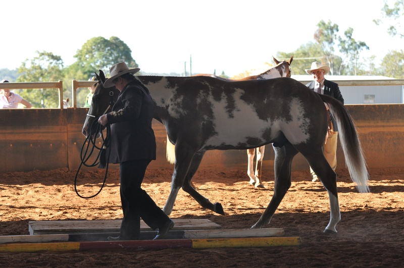 Working the bridge at the Qld pinto Championships 2011