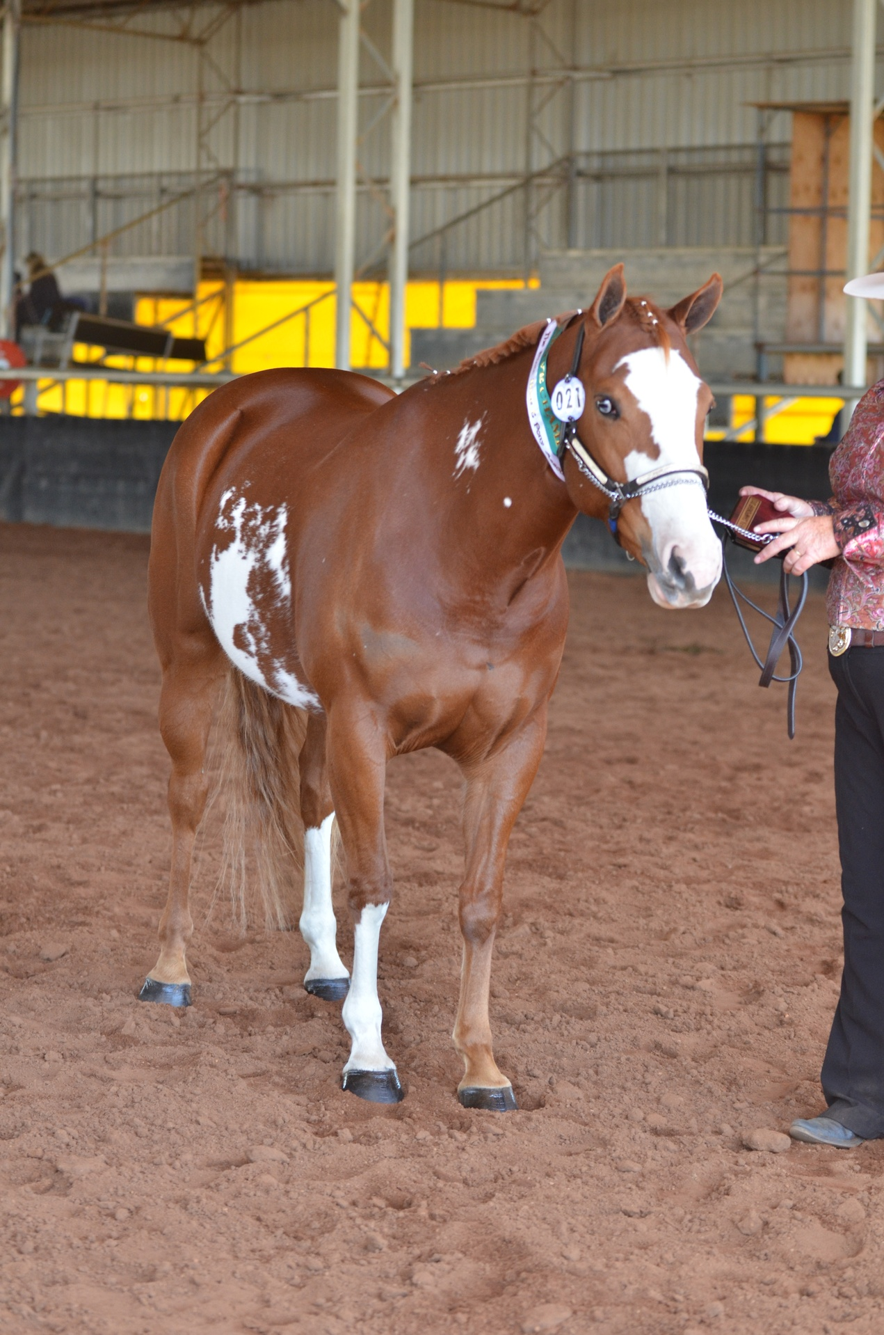 Splashy's Dam Montana the show horse ( Res State champion pinto at her first show)