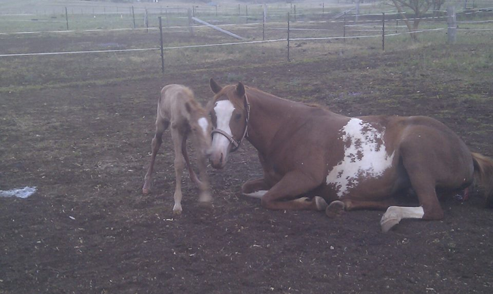 Snoopy's Montana Rose with her 1/2 hr old palomino colt 13/10/13