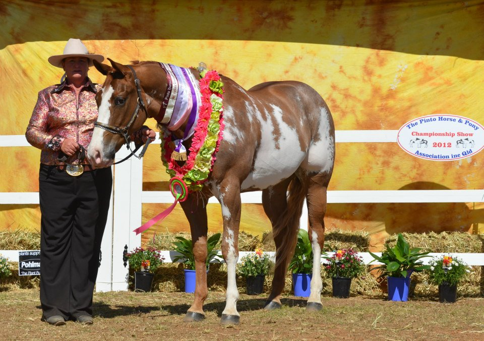 Alphy, 2012 Qld Pinto Champs, Supreme Pinto over 14hh, Runner up High Point Western Horse
