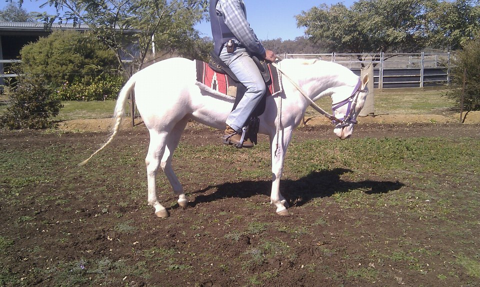 Manny's Sire: LND Platinums White Night as a 3 yr old Under Saddle