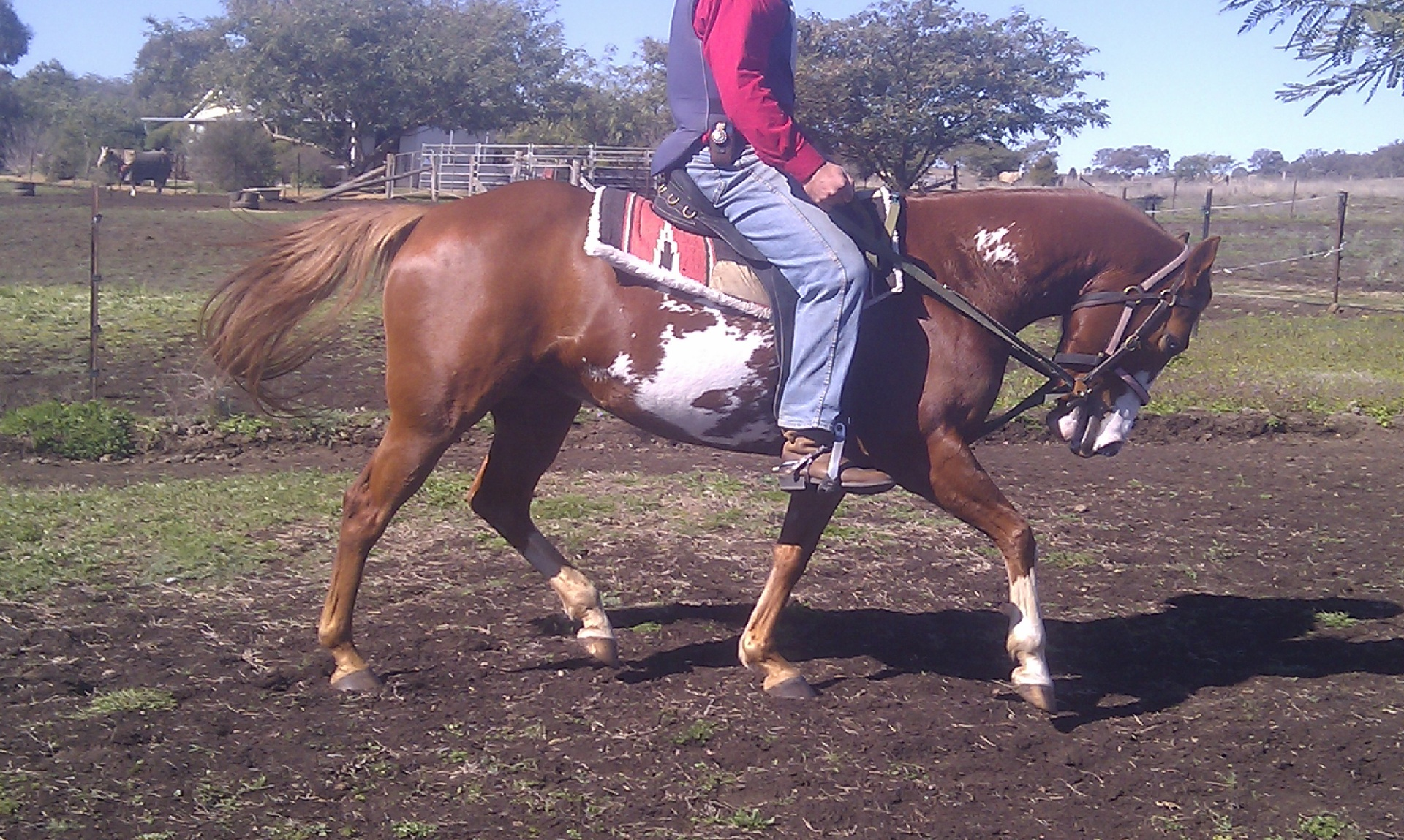 Snoopy's Montana Rose, a smart little performance horse under saddle
