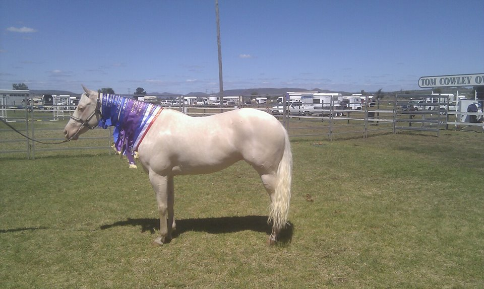 Dunlea White Oaks, Allora Show 2014. 1st show back after a 4 yr break and 2 foals, 5 x 1sts, 3 x Champions 2 x Supreme Champion Exibits. 6 weeks after weaning her last foal (Tassie) off her.